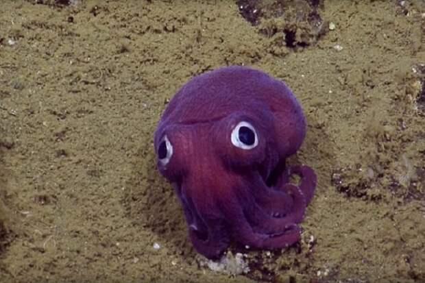 В Тихом океане засняли осьминога, похожего на мягкую игрушку