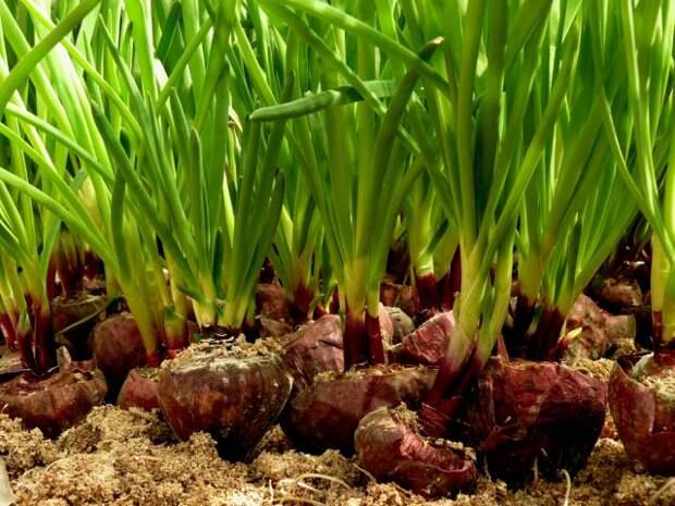 выращивать лук в опилках