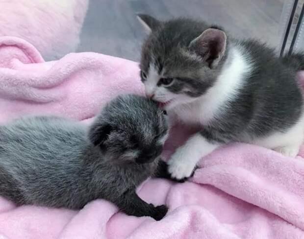 Первые дни жизни, котенок с необычным окрасом начал с приключений