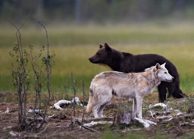 Волк и бурый медведь