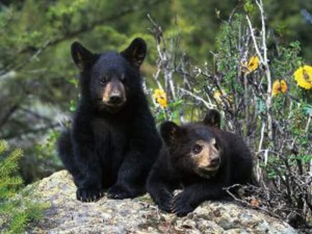 Черные медвежата