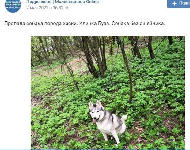 Неравнодушные соседи помогли вернуться домой хаски из Моложаниновского