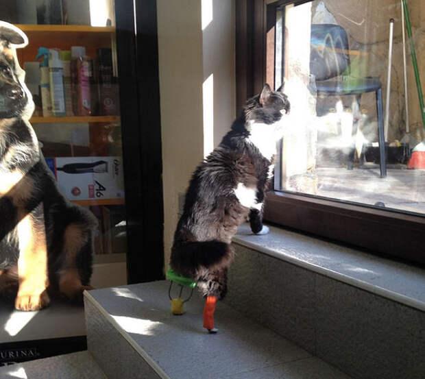 Кот по имени Пух получил новые лапы после ДТП ампутация, болгария, животные, кот, лапы