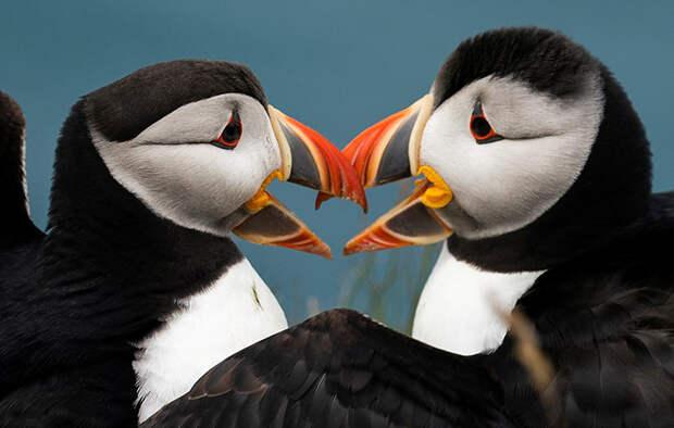 Как самые очаровательные птицы Атлантики оказались на грани исчезновения