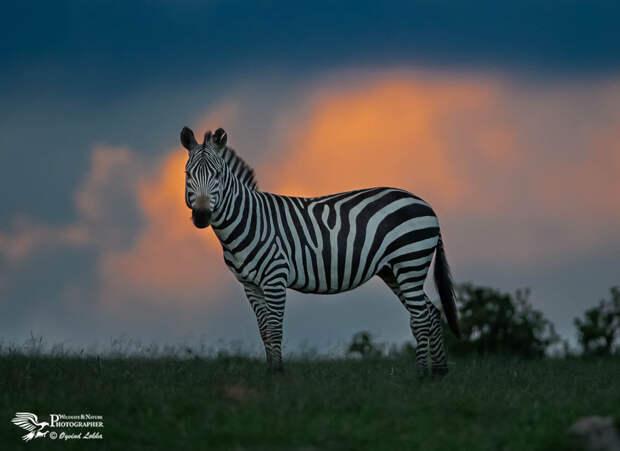 Evening in the Masai Mara by Øyvind Løkka on 500px.com