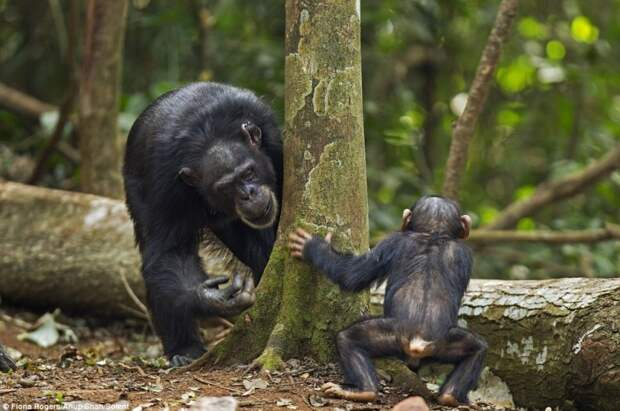 Франс де Вааль о смехе у приматов и других животных