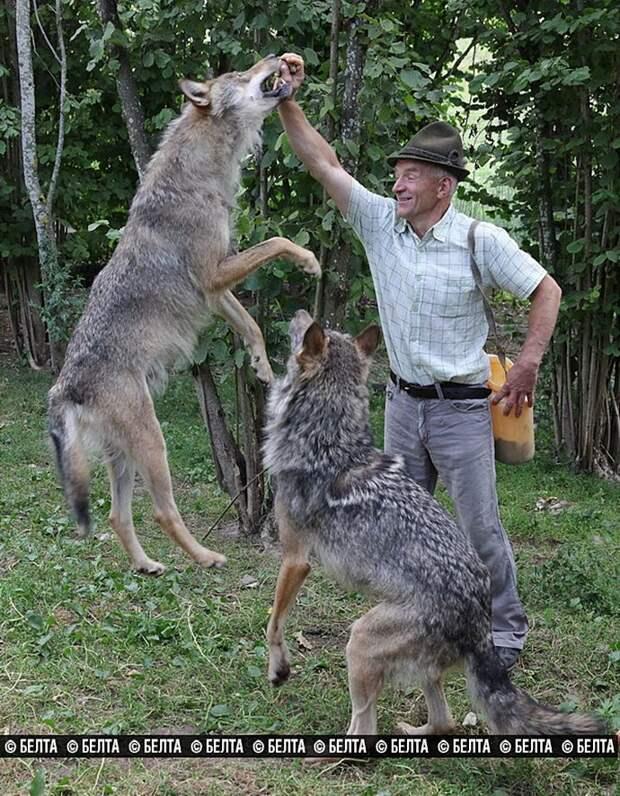Белорусская семья вырастила стаю волков