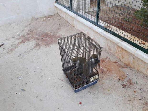 Целых шесть месяцев обезьянки прожили в крохотной птичьей клетке.