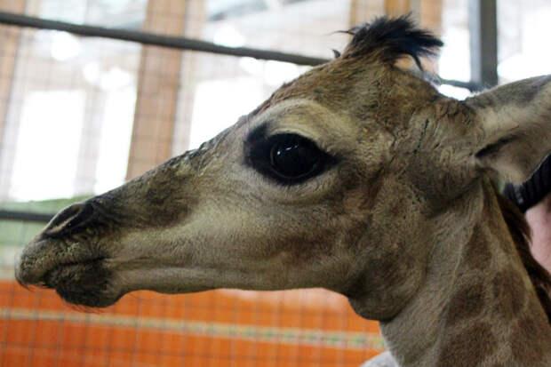 В Красноярском зоопарке выкармливают брошенного мамой жирафенка