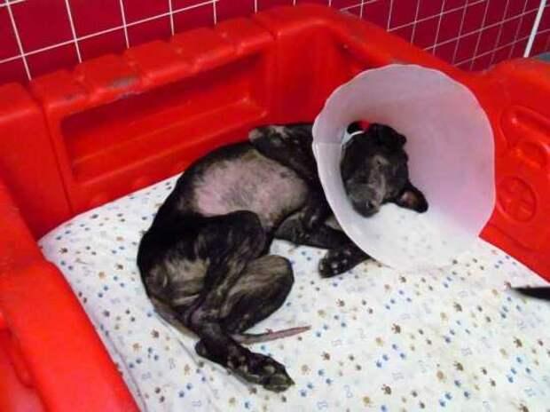 Ветеринары пытаются спасти собаку с аллергией на людей