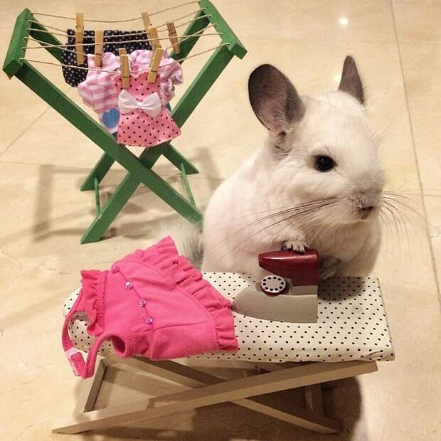Бубу - самая счастливая шиншилла в мире, ведущая роскошный образ жизни
