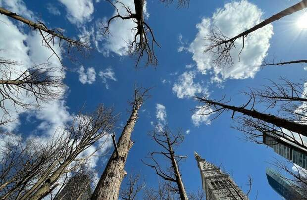 Зачем на Манхэттене высадили десятки сухих деревьев