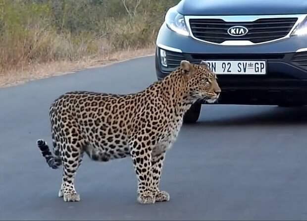 Редкие кадры: самка леопарда переводит своих котят через дорогу