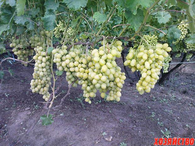 Виноград: 10 лучших сортов народной селекции