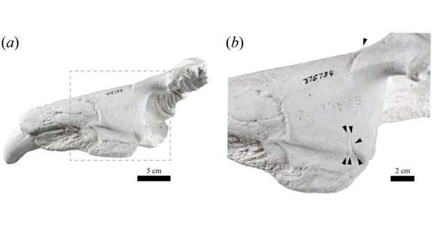 В США нашли древнюю челюсть морского слона из Антарктиды