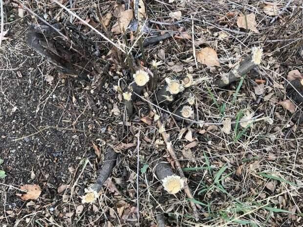 Деревья вырубили под корень в Парке Победы в Чите