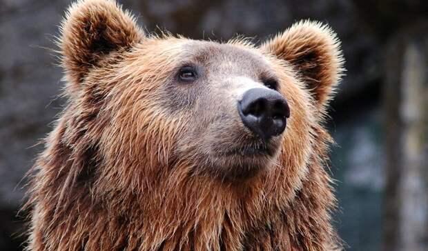 Стало известно, сколько медведей ибарсуков убьют вОмской области