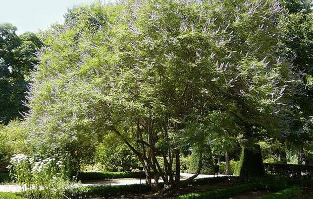Целомудренное дерево периклименон.