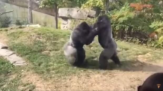 Видео: На что способна горилла в ярости