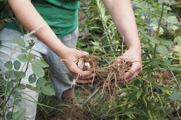 Как правильно делить луковицы лилии?