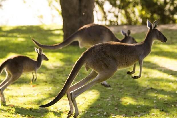 В два раза больше, чем людей: в Австралии начался отстрел кенгуру