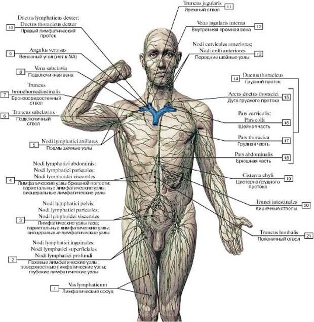 Солодка - это самый лучший лимфостимулятор, растение созданное очищать и обновлять лимфатическую систему!