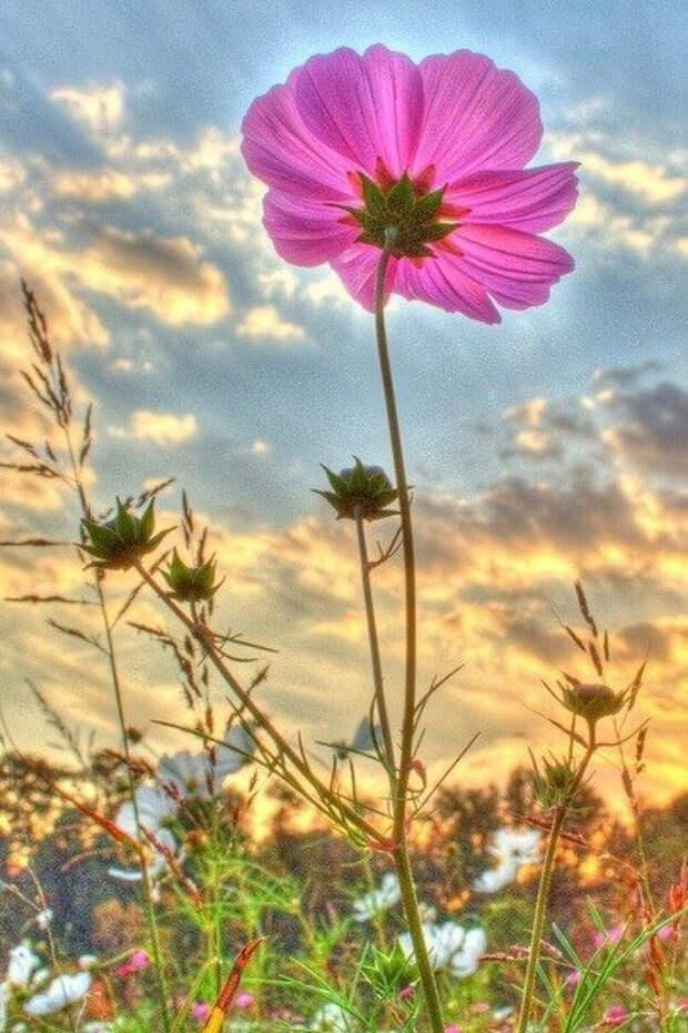 Красивые, душистые, розовые полевые цветы! Наверняка, они чудесно пахнут!