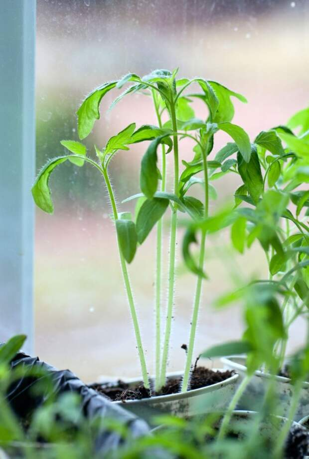 Вытягивание рассады томата