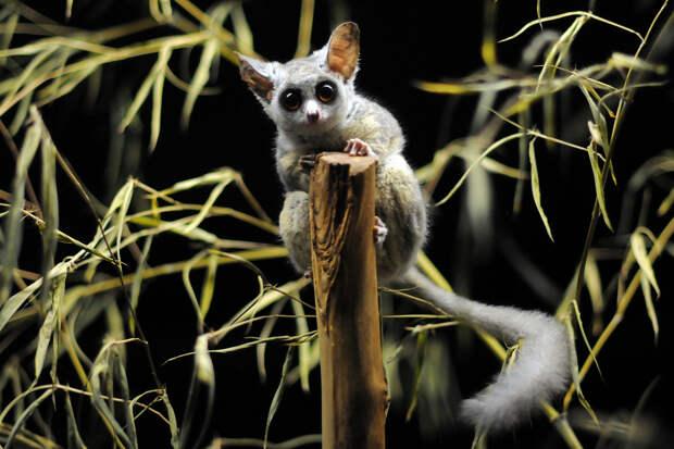 Самые интересные животные мира. Галаго