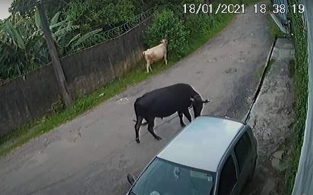 Реакция быка на машину: ну не нравишься ты мне!