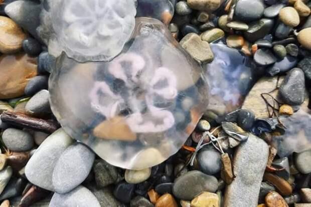 На анапском побережье обнаружены замерзшие медузы