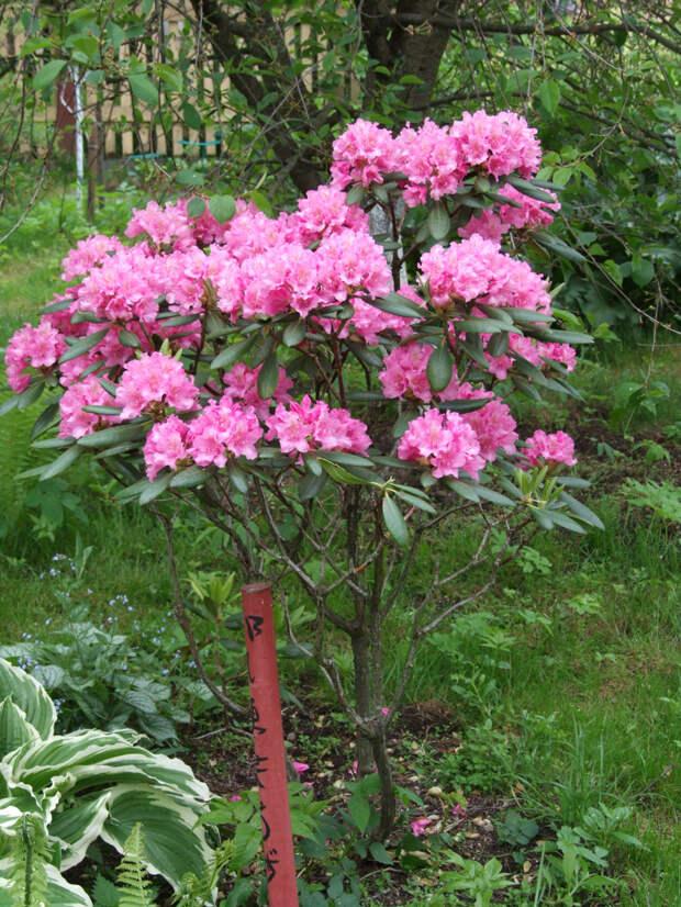 Рододендроны с изумительными цветками.