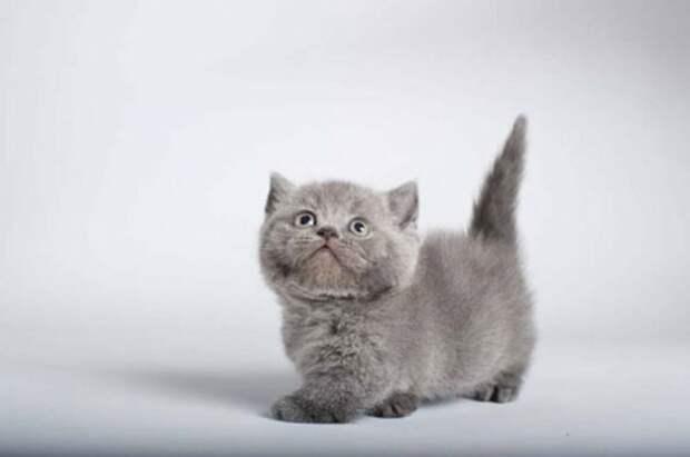 Кошка-такса - милое создание