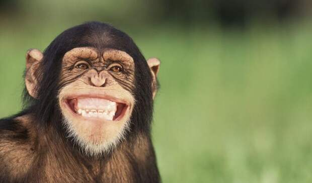 Они тоже умеют: более 60 видам животных - от тюленей до мангустов - могут смеяться
