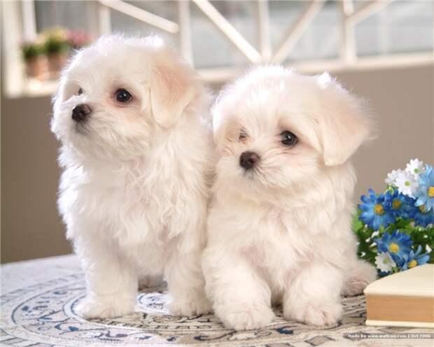 Ласковые крошки-собачки