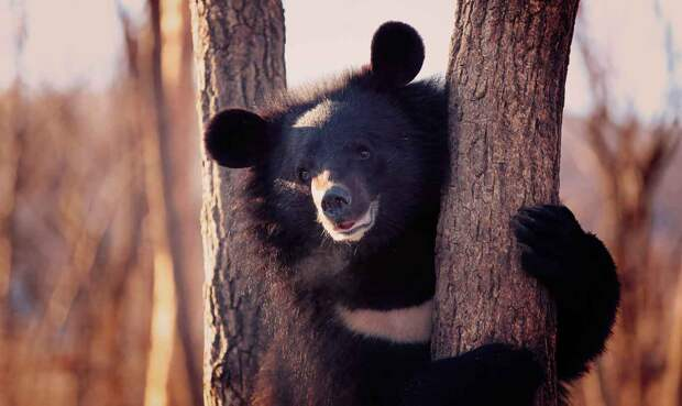 Гималайский медведь (белогрудый, уссурийский или лунный)