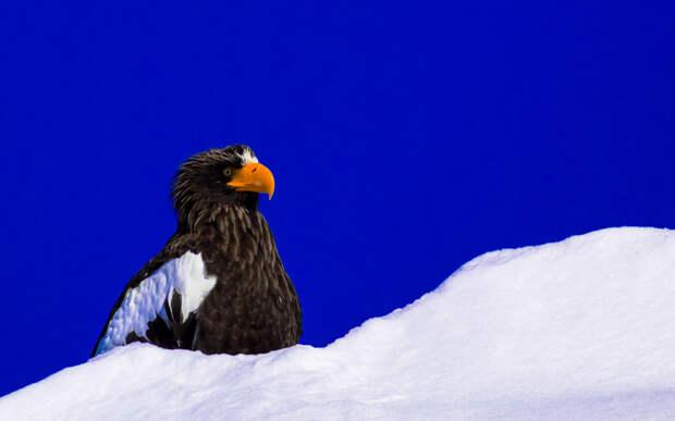 Белоплечий орлан. (Shinichi Morita)