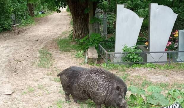 Кабана-мутанта заметил житель Ростова накладбище