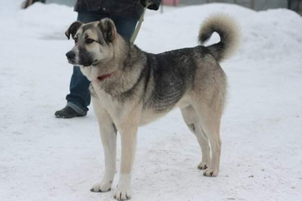 Добродушный пес с покусанным ухом отказывался уходить с холодной остановки волонтер, истории спасения, история спасения, пес, приют, собака