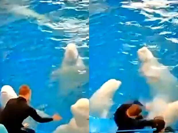 Инструктор избил двух белух из Приморского океанариума, попав на видео