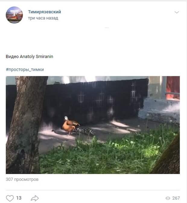Фото дня: утиное семейство заметили на Тимирязевской