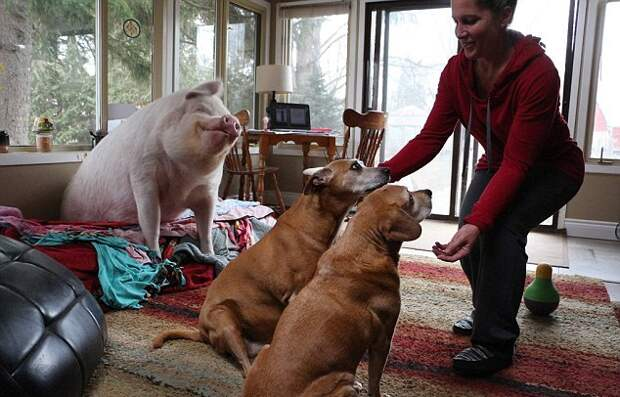 Пара купила карликовую свинью, а в итоге она выросла до 300 килограмм