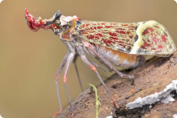 Драконоголовая фонарница Phrictus quinquepartitus