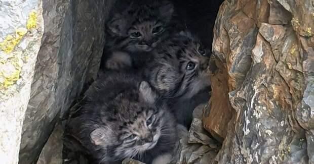Жители Горного Алтая нашли логово манула. Вместо хищника они увидели милых котят