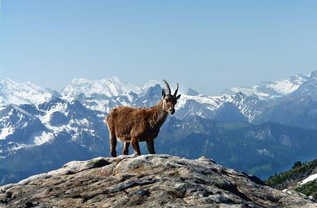 На ферму в Тосненском районе завезли альпийских коз