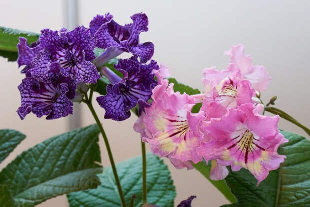 Стрептокарпус — продолжительное цветение при минимальном уходе