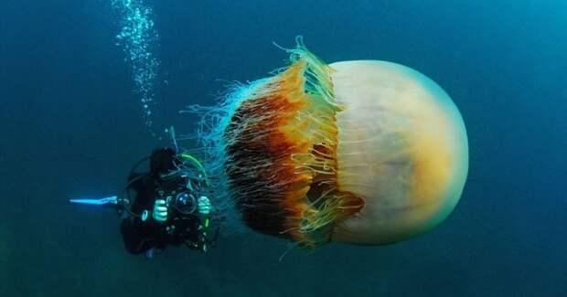 Арктическая цианея — восхитительный гигант мирамедуз