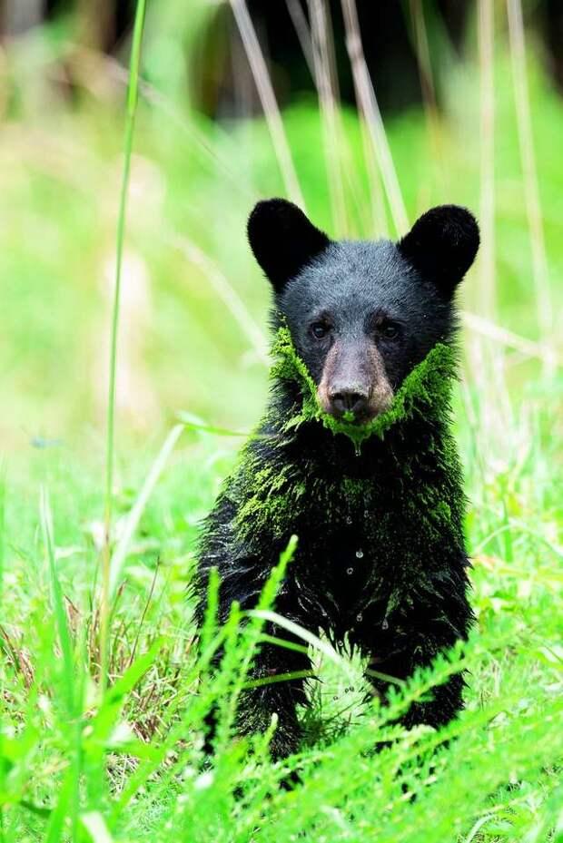 медведь в траве