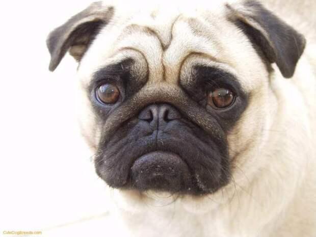 Cute Pug St. Patrick's Day - Pugs Photo (33839565) - Fanpop fanclubs