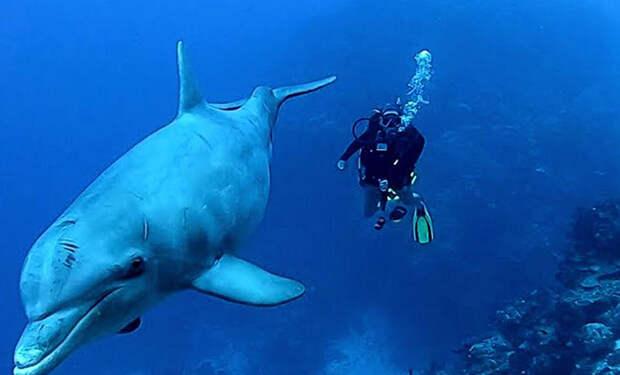 Дайверы не могли найти пропавшего в воде моряка, когда появился дельфин и показал дорогу. Видео